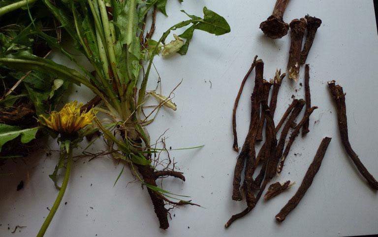 листья и корни одуванчика