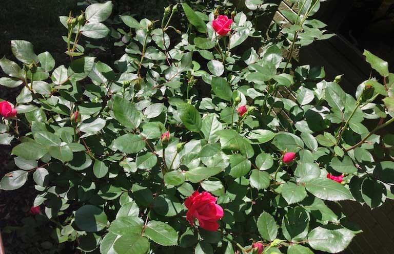 кусты розы с розовыми бутонами